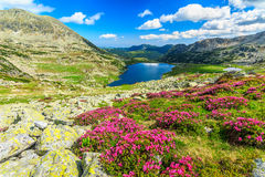 Magical rhododendron flowers and Bucura mountain lakes,Retezat mountains,Romania royalty free stock photo