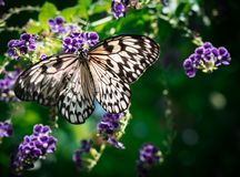 Black and white butterfly with decorated wings outstretched on a purple flower with very shallow depth of field. A magical scene with a beautiful black and royalty free stock images