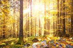 Magical shiny golden autumn sunlight with beams in forest Stock Images