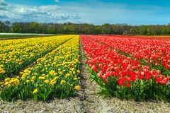 Magical spring landscape with colorful tulip field in Netherlands, Europe Stock Photography
