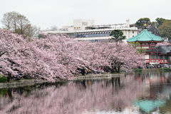 Magical Spring Landscape in Tokyo, Japan. Tokyo Crowd enjoying Cherry Blossoms Hanami season near a temple royalty free stock photos