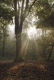 Tree back lit by magical sunbeams in misty forest Royalty Free Stock Photo