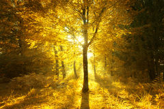 Magical sunny light in golden color autumn forest Royalty Free Stock Image