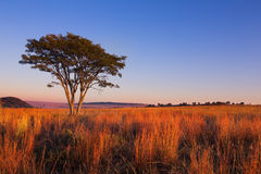 Magical sunset in Africa with a lone tree on hill and thin cloud Royalty Free Stock Images