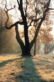 The magical tree in morning light. Dawn in autumn park Royalty Free Stock Image