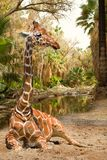 Magical view on giraffe. Near palms and river Stock Photos