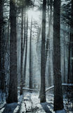 Magical winter forest Royalty Free Stock Images