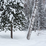 Magical winter forest Royalty Free Stock Photos