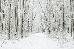 Magical winter forest during a snowfall. Royalty Free Stock Image