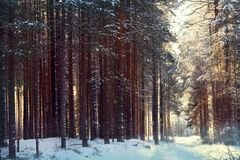 Magical winter forest Royalty Free Stock Image