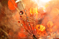 Magical world. Dandelion sprinkled with colorful water Stock Images