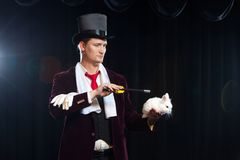 Magician with rabbit, Juggler man, Funny person, Black magic, Illusion on a black background.  stock photography