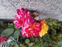 Magico Rosal Стоковое Изображение RF