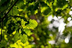 Magiczna natura, zieleni dębowi liście Obrazy Royalty Free