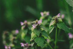 Magiczni pokrzywowi kwiatu i zieleni liście fotografia royalty free