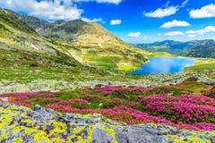 Magiczni różaneczników kwiaty i Bucura halni jeziora, Retezat góry, Rumunia Fotografia Royalty Free