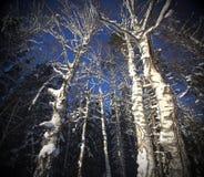 Magiczni zim drzewa strzela od niskiego punktu Obrazy Stock