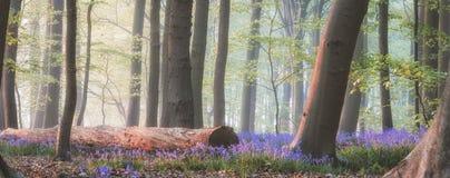 Magiczny bluebell las zdjęcie royalty free