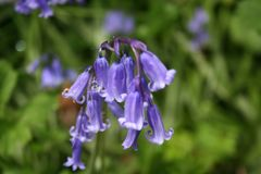 Magiczny Bluebell wiosna fotografia stock