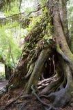 Magiczny drzewo w tropikalnym lesie deszczowym z cewienie korzeniami Zdjęcia Stock