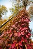 Magiczny jesień krajobraz z czerwonymi liśćmi dzicy winogrona na tre fotografia stock