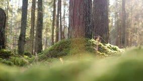 Magiczny jesień las w słonecznym dniu 4K, makro- slowmotion zbiory