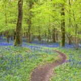 Magiczny las i dzicy bluebell kwiaty Zdjęcie Royalty Free