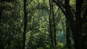 Magiczny las z kwitn?cymi popplar drzewami zbiory