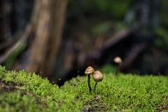 Magiczny lasowy zbliżenie krótkopęd pieczarki i mech Obraz Stock