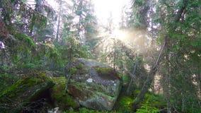Magiczny Sosnowy las przy wschodem słońca zdjęcie wideo