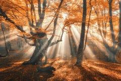 Magisch de herfstbos met zonstralen in de avond Stock Afbeelding