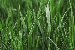 Magisch de zomer groen die gras met zuivere dauw wordt behandeld royalty-vrije stock fotografie