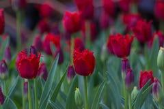 Magisch gebied van donkerrode omzoomde tulpen Stock Foto's