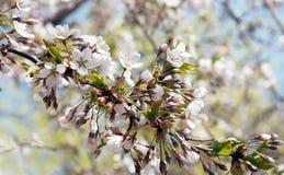 Magische bloeiende kersenboom stock afbeelding