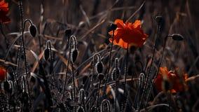 Magische bloem Papaverknoppen in al zijn glorie Papaver, een andere knop op de manier stock video