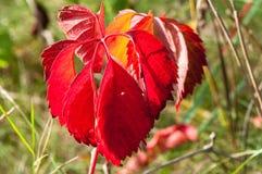 Magische Herbstforstpflanzen mit den roten, gelben Büschen Stockbild