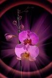Magische Orchidee Stockbild