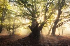 Magische oude boom met zonnestralen in de ochtend Mistig bos Stock Foto's