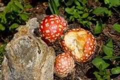 Magische Pilze Stockbilder