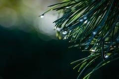 Magische Regentropfen auf den ursprünglichen zweifarbigen Kiefernnadeln japanischen Kiefer Pinus parviflora Glauca stockbild