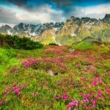 Magische roze rododendronbloemen in bergen Stock Foto