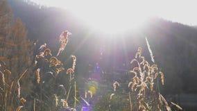 Magische uurtijd in de weide met kruiden en droog gras in daling stock videobeelden