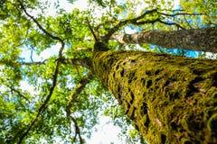 Magischer frischer grüner Waldgroßer Baum Stockfoto