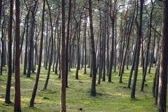 Magischer Kiefern-Wald Stockbilder