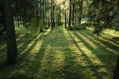 Magischer Wald in den Strahlen der untergehenden Sonne abgetönt stockbild