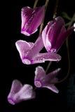 Magisches Blumen-Alpenveilchen Stockbild