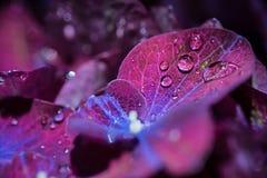 Magisches purpurrotes violettes Hortensiahortensiemakro mit Wasser fällt Stockbilder