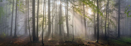 Magisk Carpathian skog på gryning royaltyfri foto
