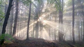 Magisk Carpathian skog på gryning royaltyfria foton