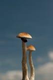 magisk champinjon för 2 par Arkivfoto